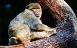 動物圖集:瀕臨滅絕的地中海獼猴