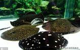 風靡水族的淡水魟魚