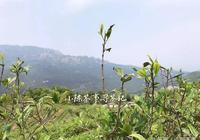 圖文直播福鼎高山茶區的茶農最近的現狀!