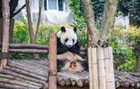 旅行日記 遊成都大熊貓繁育研究基地 國家AAAA級旅遊景區