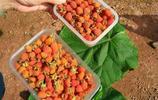 採摘野草莓 向陽村山上