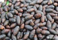 繭蛹應該怎麼吃?