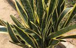 虎皮蘭釋放負離子、防輻射、清除甲醛,居家不可少室內植物