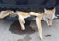 開車壓死狗保險會賠嗎?