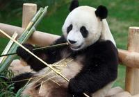 大熊貓戰鬥力到底如何,大熊貓能打得過老虎嗎?