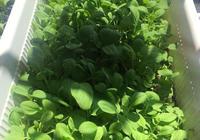 小白菜陽臺就能種,埋土裡一週就長芽,吃一茬長一茬!