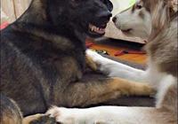 阿拉斯加打不過狼狗,它就在狼狗碗裡撒尿報復,真是太壞了