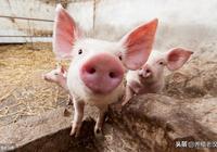 豬場管理:疫情狀態下,豬病綜合防治的4項措施!