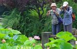 西湖荷花漸次開 粉嫩水靈引遊客駐足觀賞