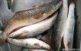 青島5斤多鮮鮁魚40多元一斤 3兩大螃蟹80元一斤 春季海鮮價格高