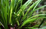 一種香氣怡人的有毒植物,花語是信仰者的幸福、仰慕的信