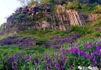 大揚州這漫山遍野的紫色花海,不是薰衣草,勝似薰衣草!