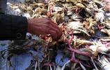 中秋之後螃蟹價格大跳水,五塊錢一斤引來市民搶購