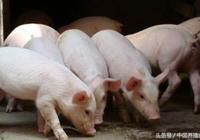 明明白白養豬,養豬利潤這麼算!