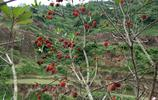 貴州省農村人是這樣摘吃楊梅,生活雖辛苦,但卻充滿幸福與享受