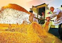 傳統玉米酒製作方法