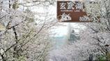 南京雞鳴寺櫻花綻放 眾多遊客前來拍照