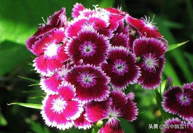 如何讓石竹四季都開花?做好這5點,就會讓石竹花開不斷
