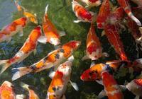 養了很多的錦鯉為何不會生小錦鯉?