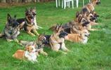 動物圖集:德國牧羊犬