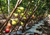 開化:清潔化種植無花果