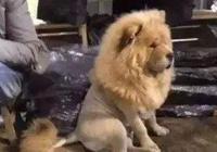 鬆獅送給爺爺養,一個月後,鬆獅竟被養成了狗