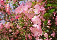 海棠花美美的開