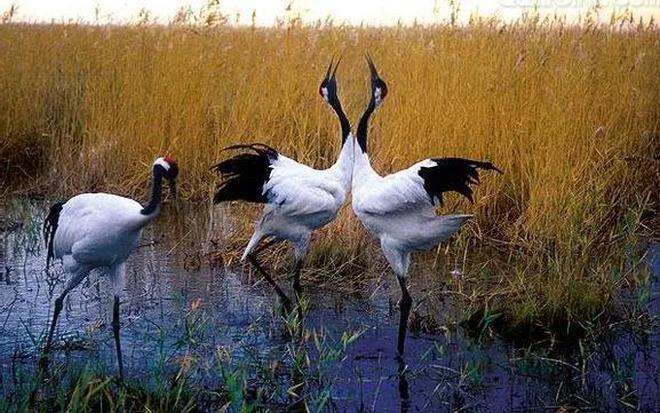 動物圖集:丹頂鶴,美麗優雅,潔白神聖,真的是人見人愛!