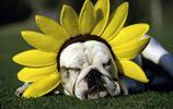 動物圖集:神情安詳的哈巴狗