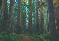 樹木中的大塊頭 ——北美紅杉