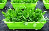 村民新發明盆栽蔬菜,20塊錢吃1年新鮮蔬菜,月銷萬盆賣遍全國