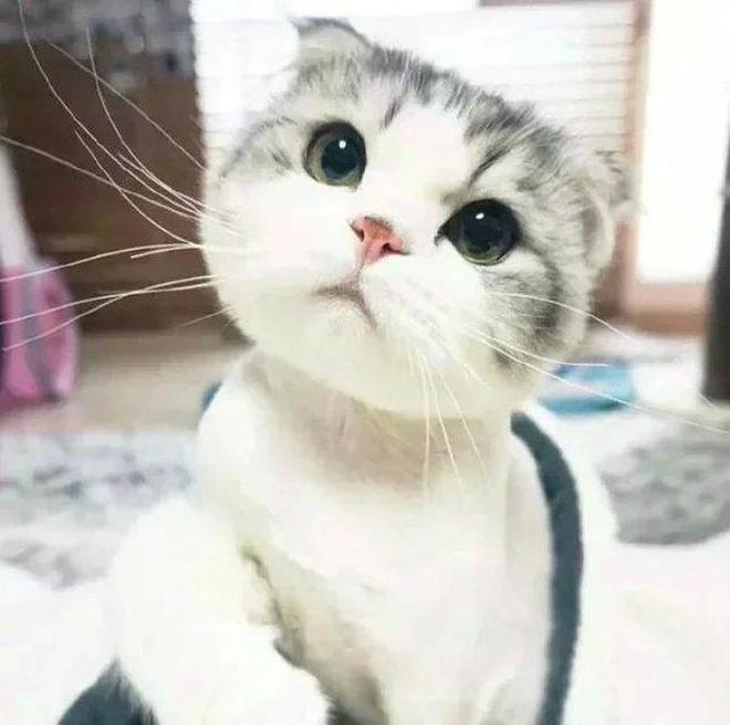 寵物圖集:折耳貓