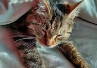 把狸花貓放到非洲大草原,狸花貓可以存活下來嗎?為什麼?