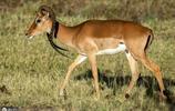 罕見黑斑羚羊