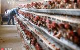 小夥養雞年掙20萬,5年前還是貧困戶,最大的願望暖人心