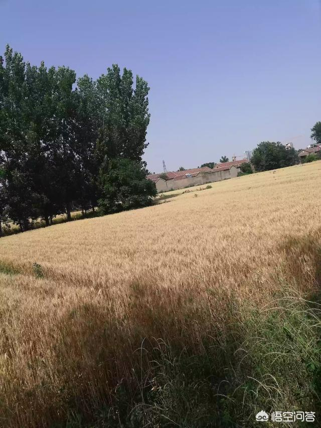 今年我家小麥每畝收1300多斤,一塊零四分賣了,大家覺得產量怎麼樣?以後還能提高嗎?