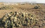 白菜價也賣不出去,菜農無奈囤在田裡,一捂一凍爛了一地
