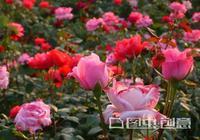 月季花怎麼才能要養好,教你幾個妙招,盆栽茂盛不爛根