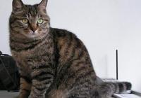 狸花貓有多麼凶猛?