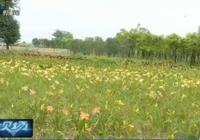 這個草可不是金針菜!在福州南江濱生態公園看到它,別採摘來吃!