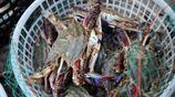 螃蟹捕撈船船工日薪500 梭子蟹吃到吐 在船上只想吃點饅頭和大餅