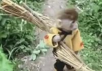 猴子被主人放到鄉下,幾天後當上了山大王,網友:孫悟空轉世嗎?