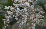 """冬天才成熟的""""果子"""",是長在樹上的""""天然細鹽"""""""