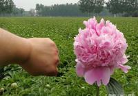 芬芳牡丹芍藥基地——芍藥鮮切花銷往全國各地