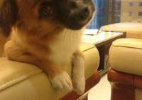 家裡的蝴蝶犬長大了,爸媽晚上一下班它就會去樓下接他們,好可愛