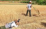 """你見過一種叫做""""掠""""的古老農具嗎?現場直拍,看晉南農村掠麥子"""