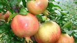 這幾種水果可以在陽臺上種植,當年就結果,你家種了什麼?