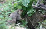 動物世界:憨憨的,萌萌的,可愛的土撥鼠,它也叫旱獺