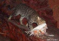 """澳洲野貓有多狠?小動物快吃瀕危了,只能靠防貓""""長城""""!"""