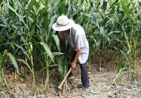 76歲農村大爺一天掙70元,管兩頓飯,不幹就虧大了!
